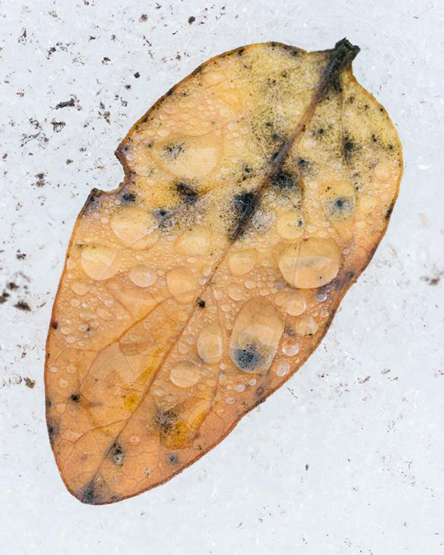 leaf_in_snow_1