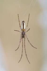 long_jawed_orb_weaver_3
