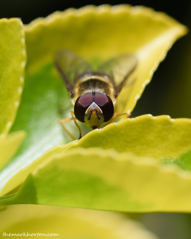 syrphid_fly