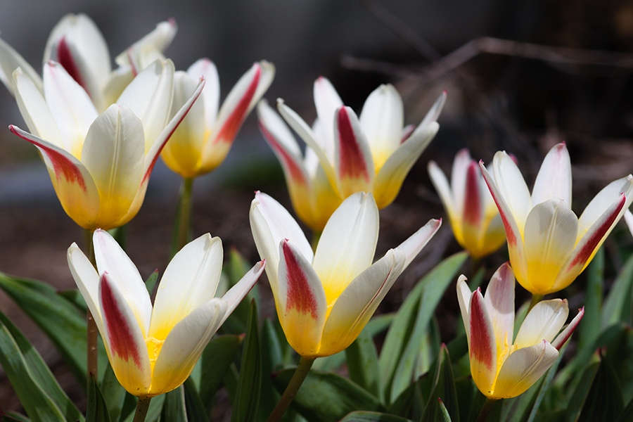 spring_and_tulips_i