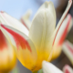 spring_and_tulips_ii