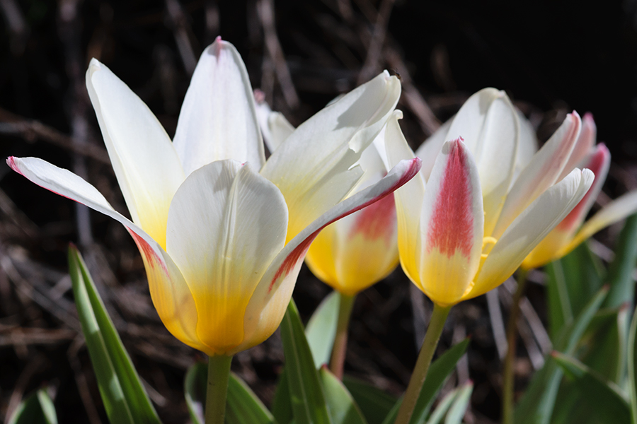 spring_and_tulips_v