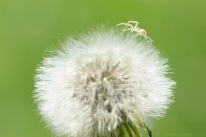 spider_on_dandelion