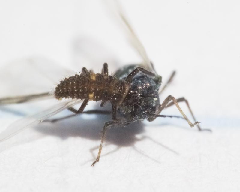 aphid_vs_ladybug_larva