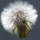 crab_spider_on_dandelion
