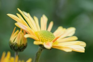 yellow_chrysanthemum