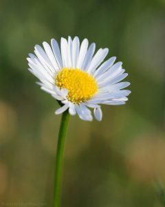 erigeron_daisy
