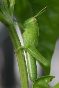 green_grasshopper