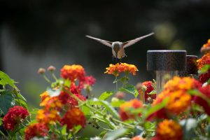 hummingbird_feeding_from_lantana_camara