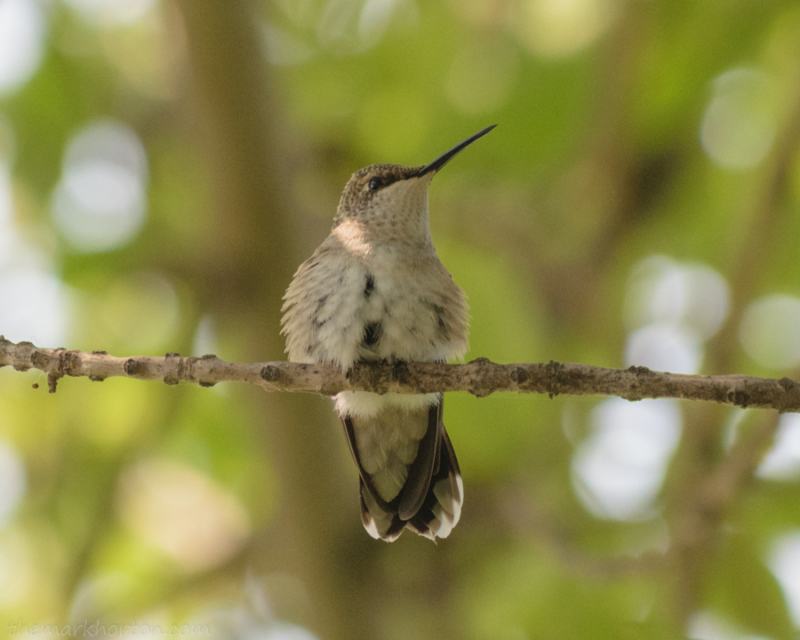 hummingbird_on_tree_branch