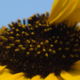 mutated_sunflower