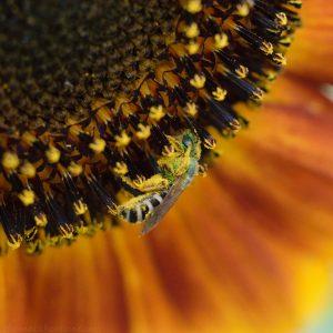 bees_on_sunflower