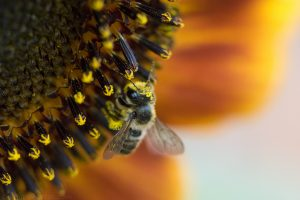 bees_on_sunflower