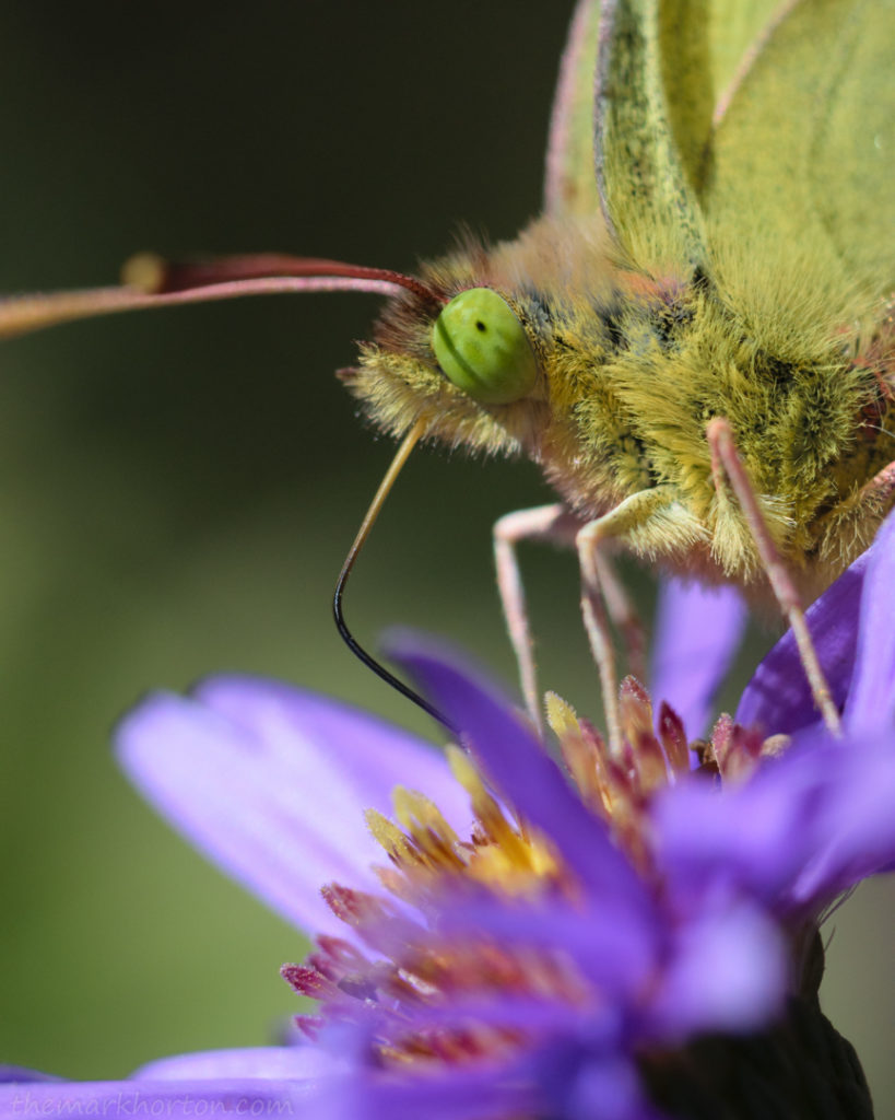 green eyed butterfly sulfur aster