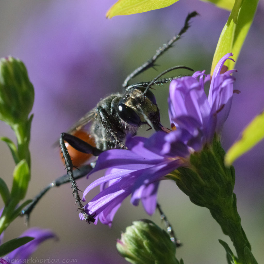 thread-waisted wasp on aster