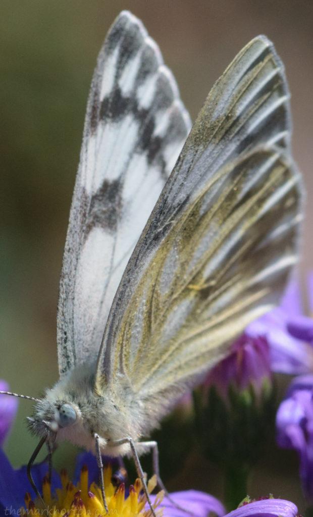 butterfly wings aster