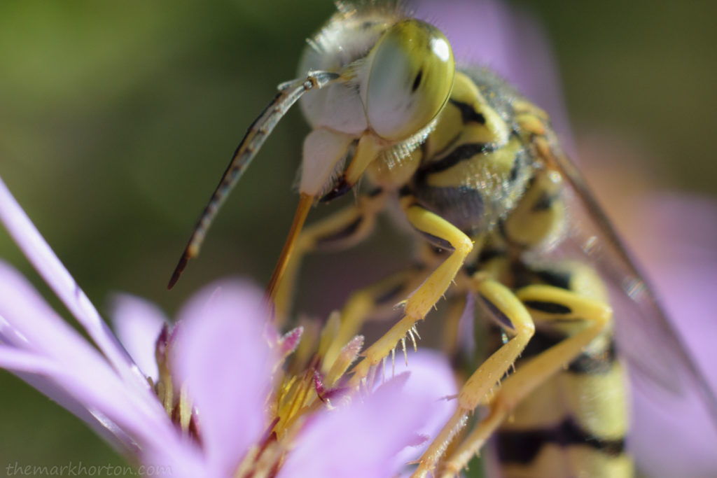 sand wasp on aster