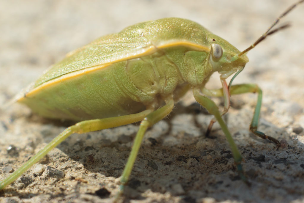 green shield bug