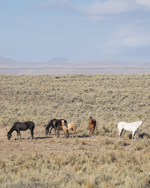 wild horses eastern oregon