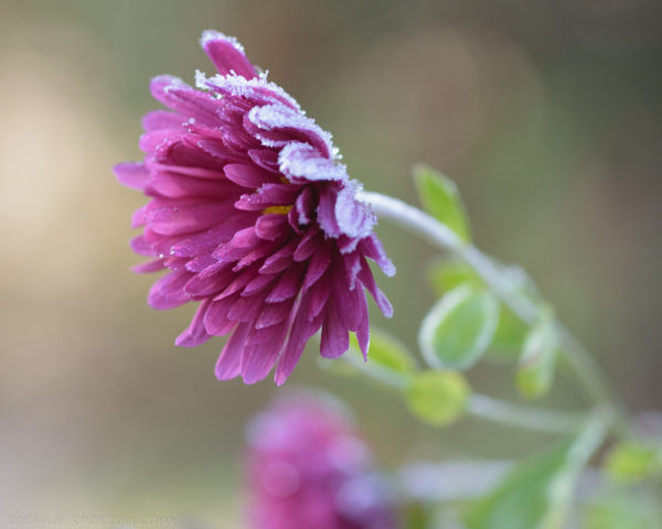frosty mum chrysanthemum