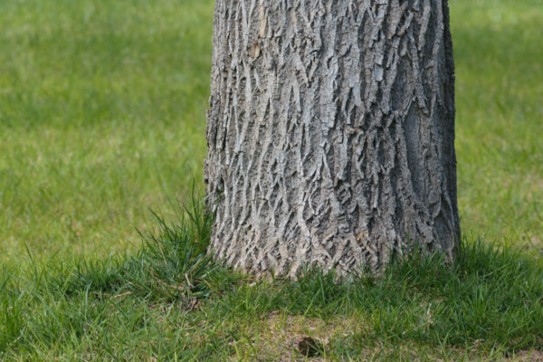 2017 ash tree