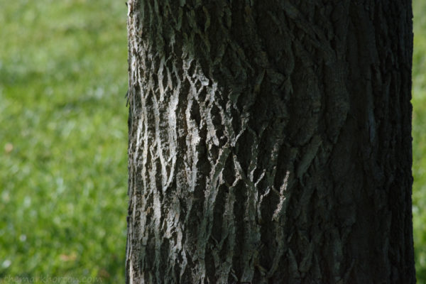 ash tree 2017