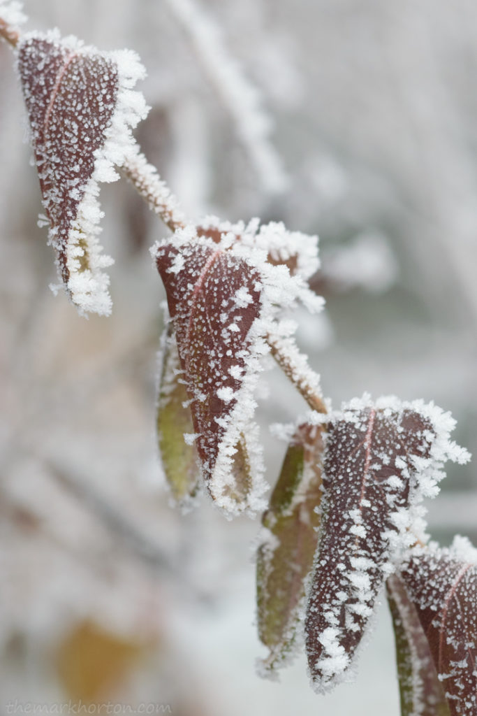 frosty honeysuckle leaves