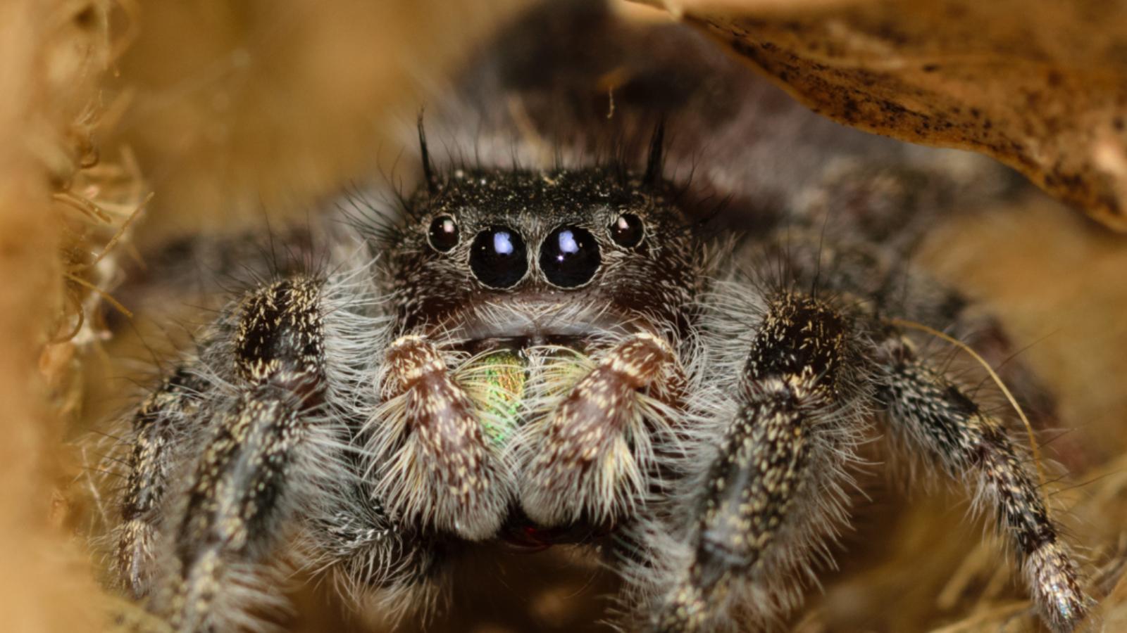 bold jumping spider phidippus