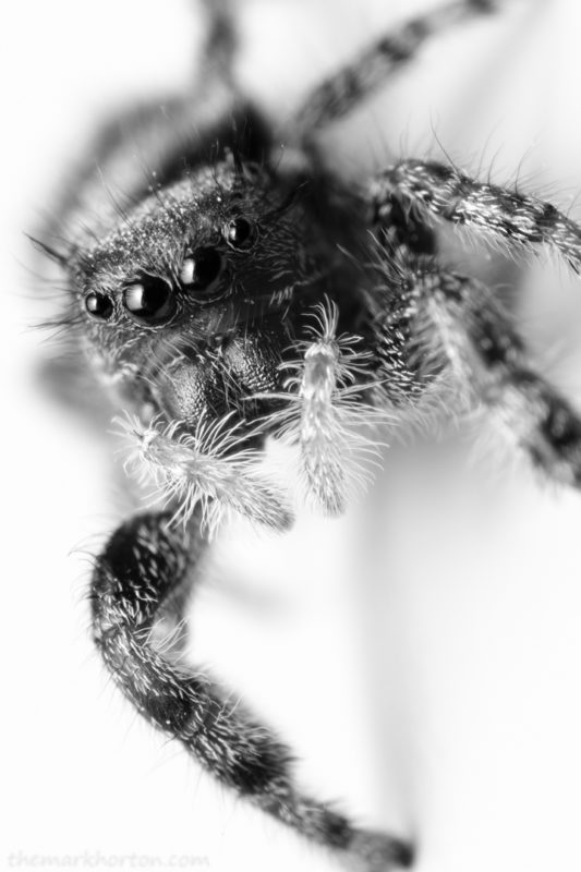 phidippus audax jumping spider black and white