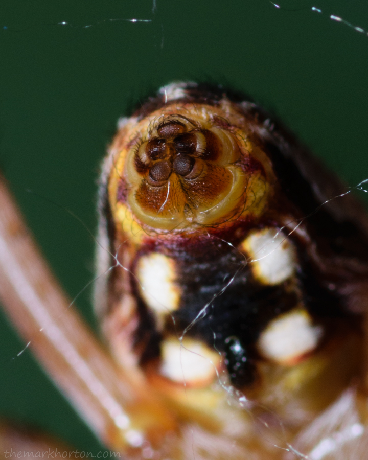 western spotted orb weaver spinnerets