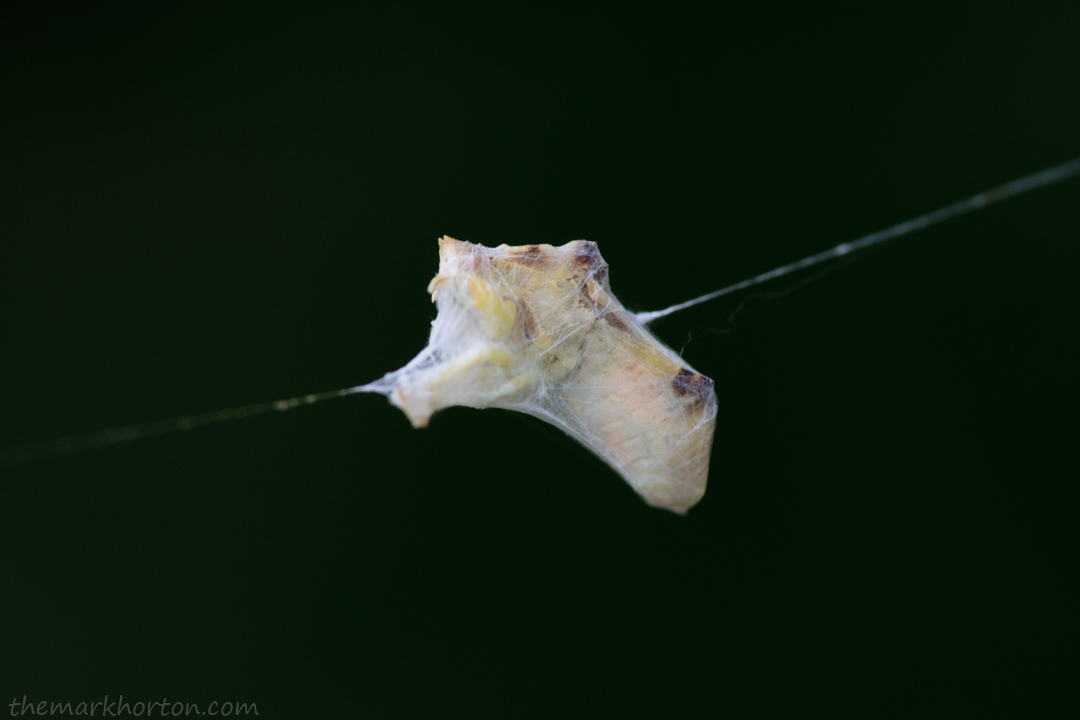 ambush bug caught in spider web