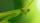 green praying mantis macro