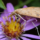 Moth on Aster