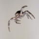 A dangling spider viewed upside down looks like a flying spider.