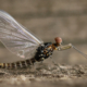 Mayfly on the fence.