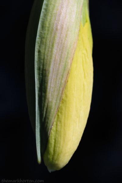 daffodil bud macro