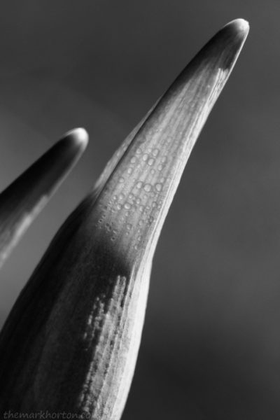 backlit daffodil bud black and white