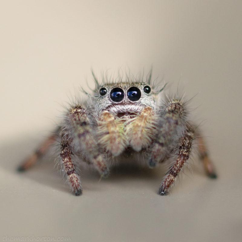 phidippus audax jumping spider