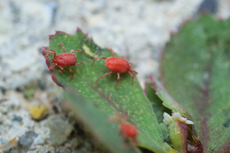 red mites
