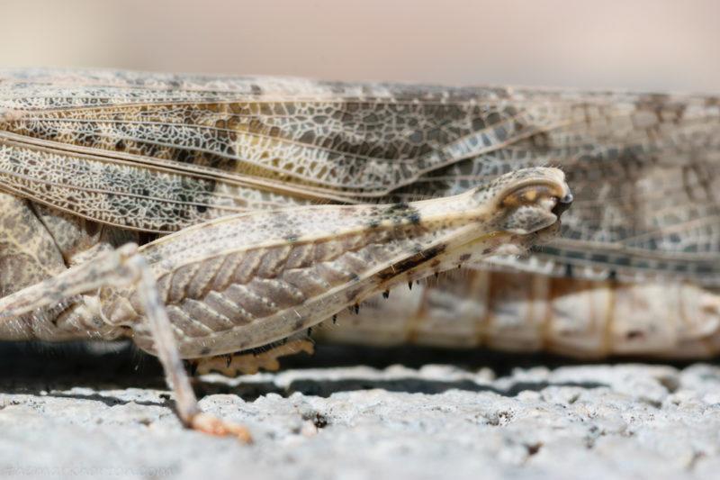 grasshopper knee