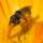 sweat bee on marigold