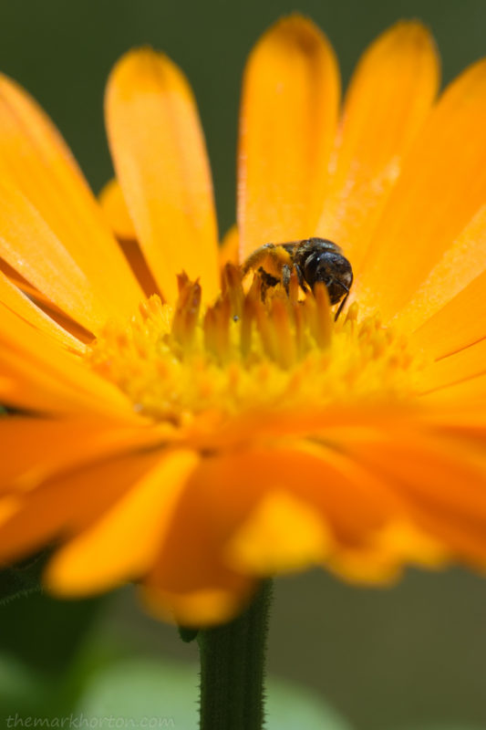 sweat bee on marigold