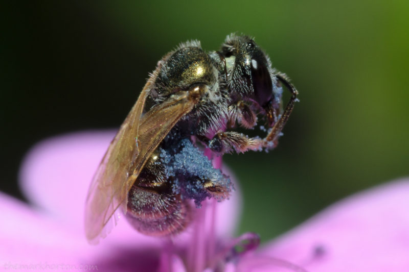 sweat bee on soapwort