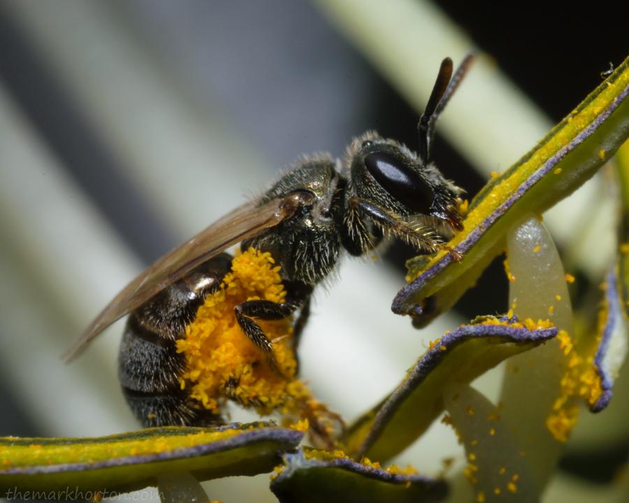 Sweat Bee on Hosta