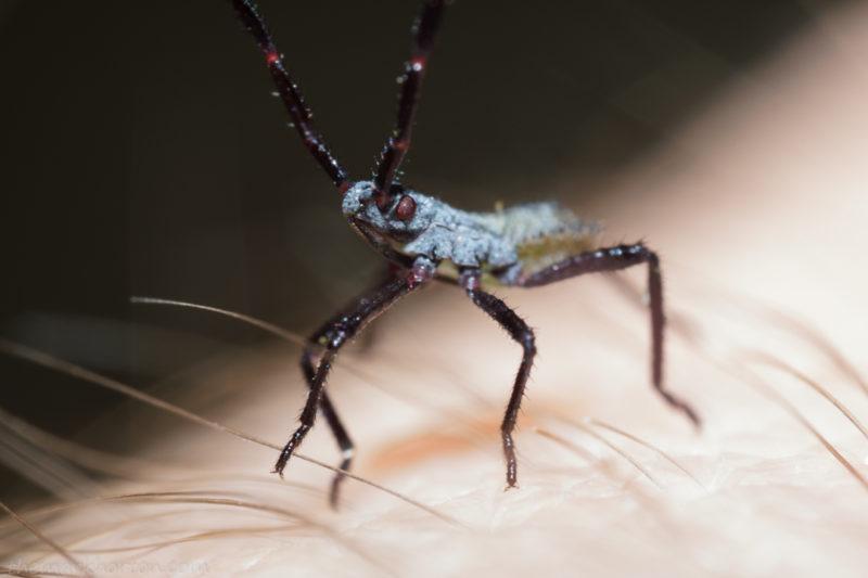 young squash bug