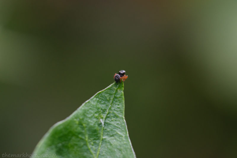 phidippus audax spiderling
