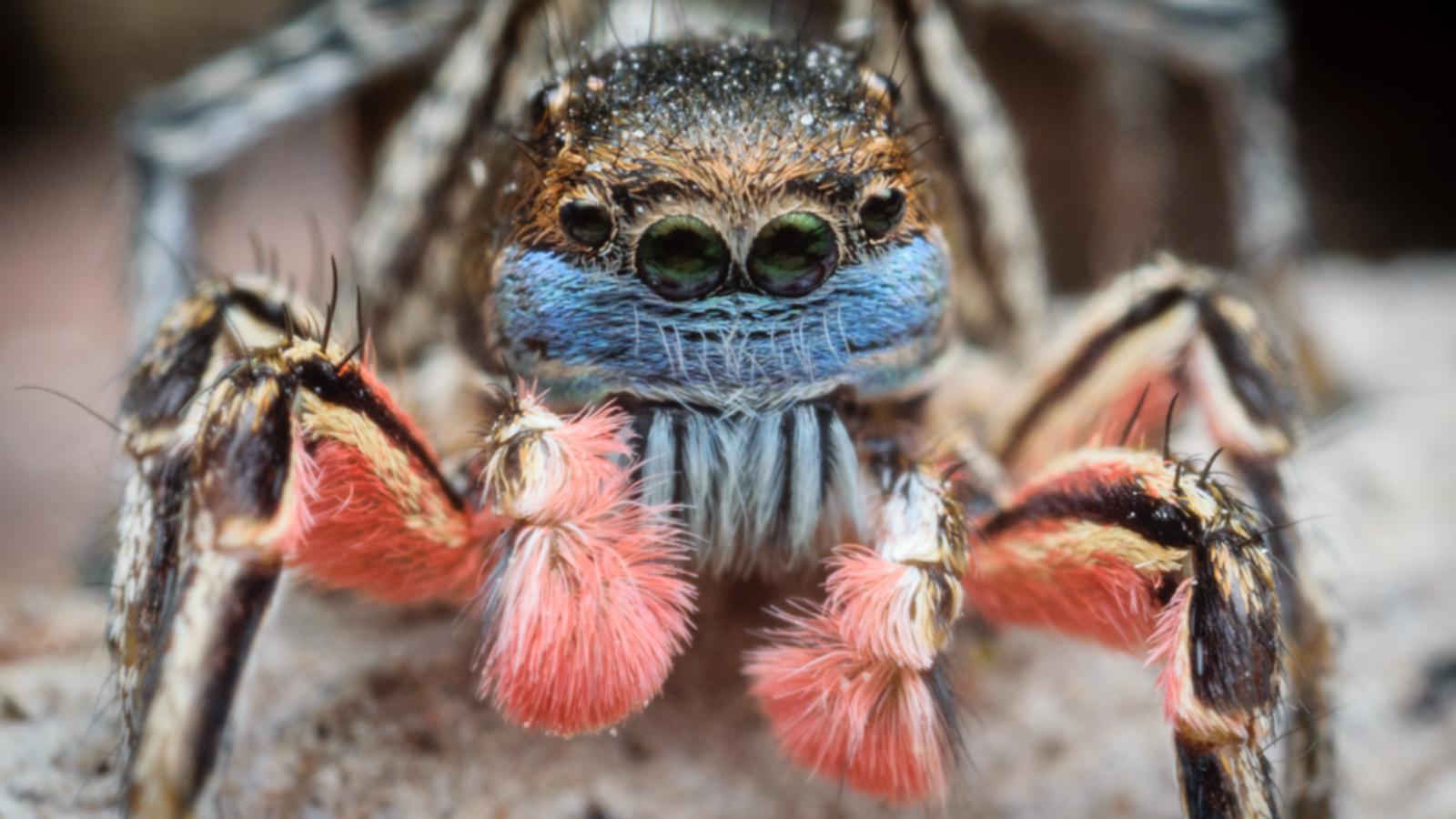 Habronattus americanus spider