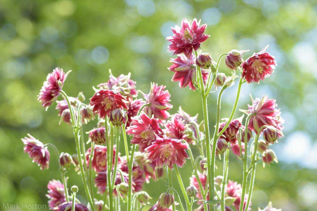 Nora Barlow Columbine flowers
