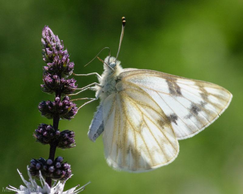 butterfly on mint