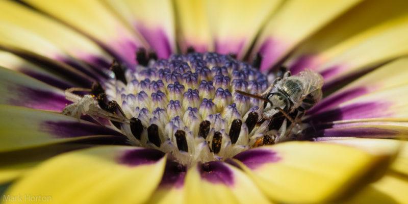 crab spider and sweat bee on osteospermum